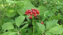 Ginseng Stock Footage