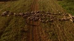 Man walking near sheep flock. Stock Footage