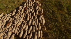 Sheep herd is moving. Stock Footage