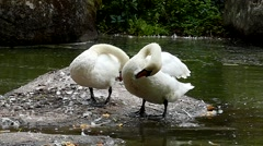 White Swans Preen Their Wings on the Lake in Slow Motion. Stock Footage