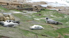 A herd of seals resting on rocks. Stock Footage