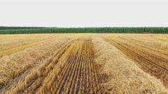 Mown hay of yellow color. Stock Footage