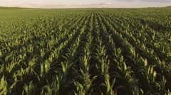 View of cornfield from air. Stock Footage