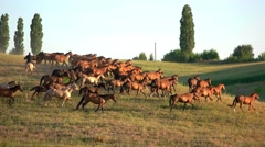Brown horses running on grass. Stock Footage