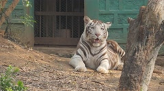 White tiger,Bhubaneswar,Nandankanan Zoo,India Stock Footage