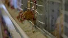 Hen in a cage. Stock Footage