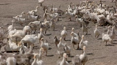 Herd of white geese. Stock Footage