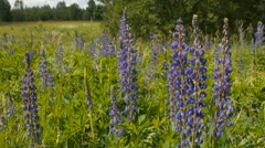 Blue lupine in the meadow Stock Footage