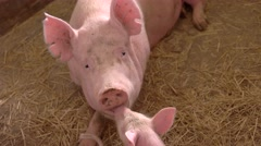 Pink pig lies on straw. Stock Footage