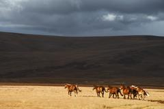 Herd of the running horses in the field Stock Photos