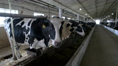 Cows in stall. Arkistovideo