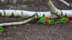 Lovebirds Eating Seeds On Ground Stock Footage