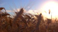 Ears on sun background. Stock Footage