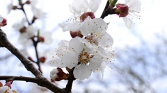 Apricot tree blossom flowers Stock Footage