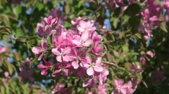 Apple Blossom pink color Stock Footage
