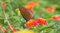 Butterfly feeding on a flowers macro shot Stock Footage