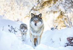 Two wolves in cold winter forest Stock Photos