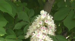 Blooming chestnut in the morning Stock Footage