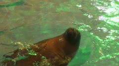 Baikal seal or a freshwater seal Stock Footage