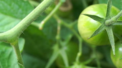 Slow Macro Pan Across Green Grape Tomatos on Vine in Garden Stock Footage
