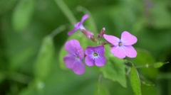 Lunaria. Purple honesty flowers on blurred green background Stock Footage