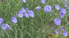 Blue flax flower Stock Footage