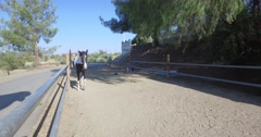 Pinto Horse walking toward you shaking his head and wagging his tail Stock Footage