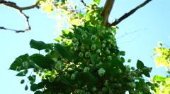 Liana wild beer hops in the wild Stock Footage
