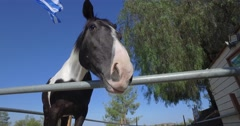 Pinto horse staring and sniffing with his ears back Stock Footage