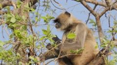 Langur monkey eating leaves in tree,Omkareshwar,India Stock Footage