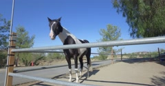 A black and white pinto horse staring around Stock Footage