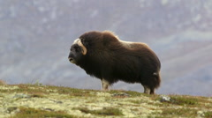 Muskox standing in beautifully position on hill ridge head left Stock Footage