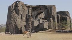 Cow grazing before  ruins shop of Gada Shah,Mandu,India Stock Footage