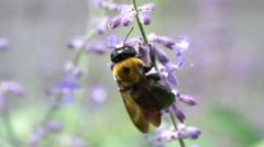 Macro view of Carpenter Bee collecting pollen from purple Sage Flower Stock Footage