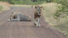 Male lions on the move Stock Footage