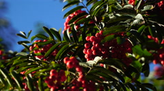 Red rowan berries in early autumn. Stock Footage