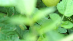 Camera tilting up revealing green grape tomatos on vine Stock Footage