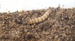 Bread worms are crawling, as a bird's feed is farmed. Stock Footage