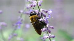 Extreme Closeup of Carpenter Bee on Sage Flower Macro Stock Footage