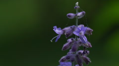 Macro close up of purple Sage Flower gently moving in the wind Stock Footage