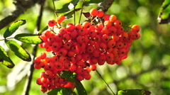 Bunch of rowan berries close-up. Stock Footage