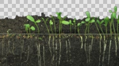 Time-lapse of growing alfalfa vegetables and roots with ALPHA channel Stock Footage