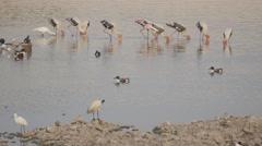 Painterd stork in Ranmal lake,Jamnagar,India Stock Footage