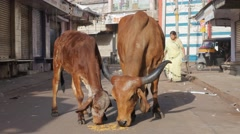 Cows eating on street,Jamnagar,India Stock Footage