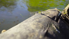 Large dragonfly sits on a log near the water Stock Footage