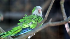 Monk Parakeet Stock Footage