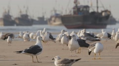 Gulls on the beach in harbour,Porbandar,India Stock Footage