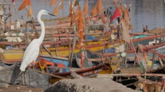 White heron in harbour,Porbandar,India Stock Footage