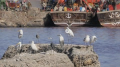 Heron birds in harbour,Veraval,India Stock Footage