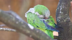 Monk Parakeet Cleaning Itself Stock Footage